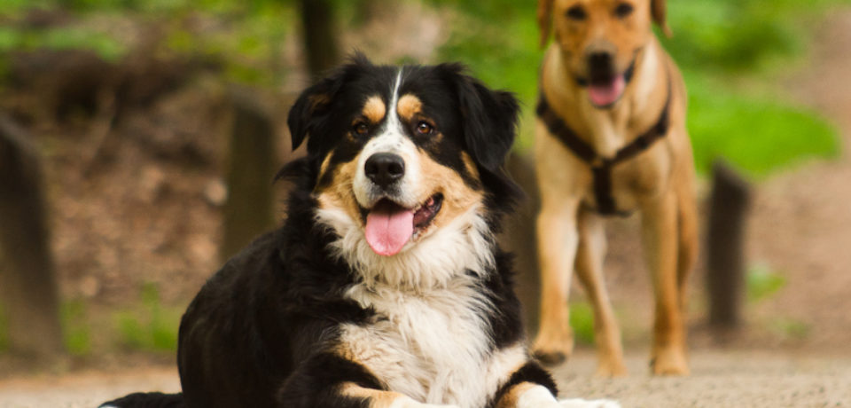 Purebred vs. Mixed-Breed Dogs: what is the difference in their behaviour?